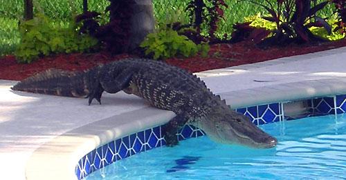 Alligator Unfamiliarterahtory